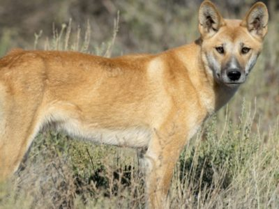 A Top 10 Wild Dog Breeds in the World