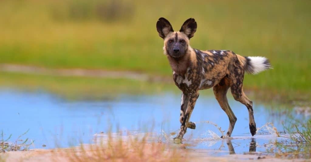 Razas de perros salvajes: Perro salvaje africano