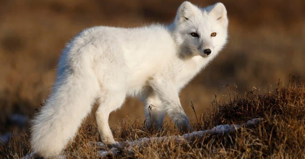 Razas de perros salvajes: zorro ártico