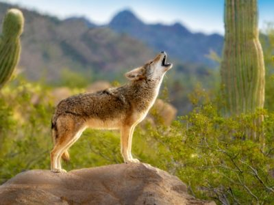 A What do Coyotes Eat?