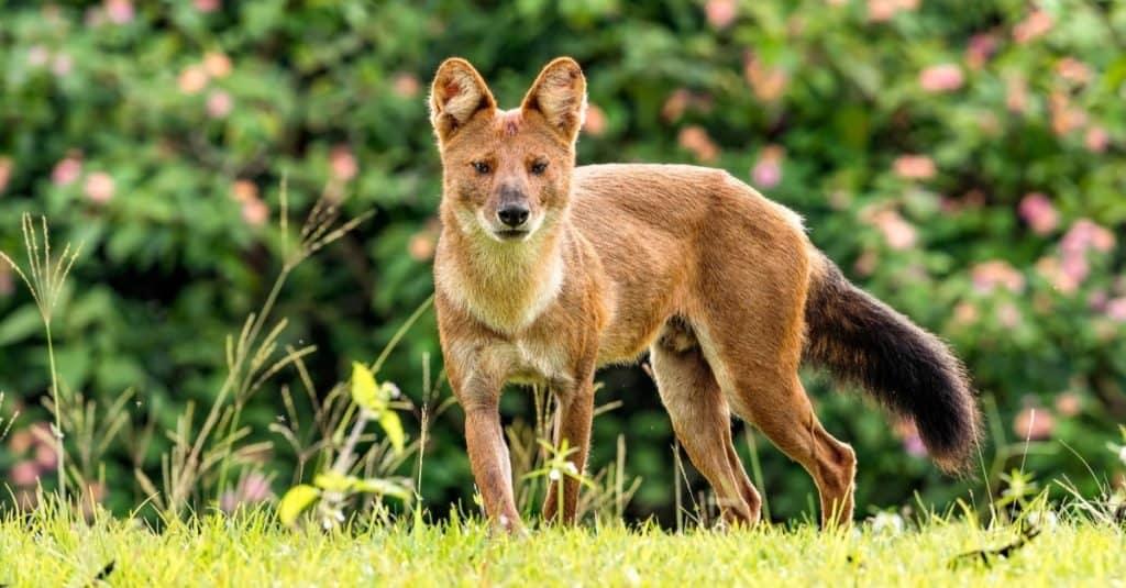 Razas de perros salvajes: Dhole