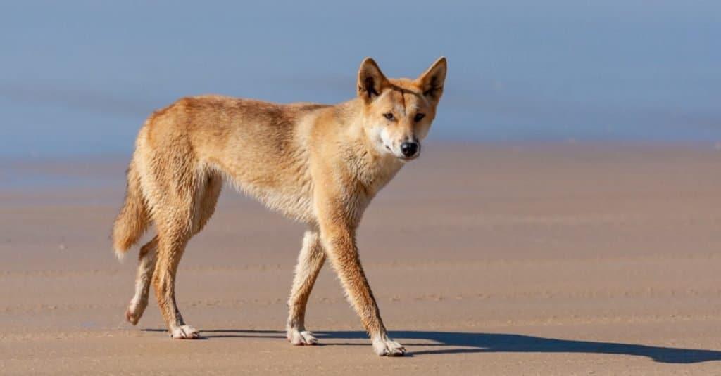 Razas de perros salvajes: Dingo