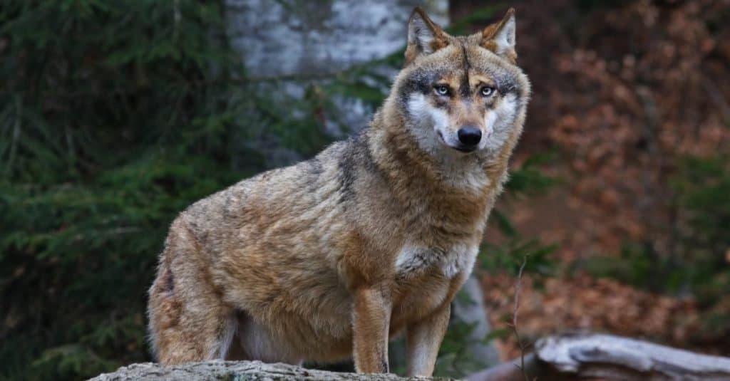 Razas de perros salvajes: lobo gris