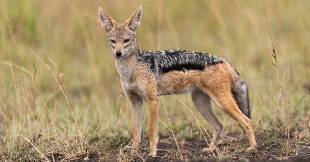 Razas de perros salvajes: Chacal