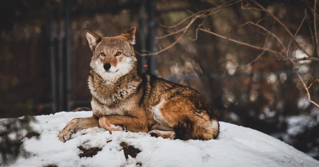 Razas de perros salvajes: lobo rojo