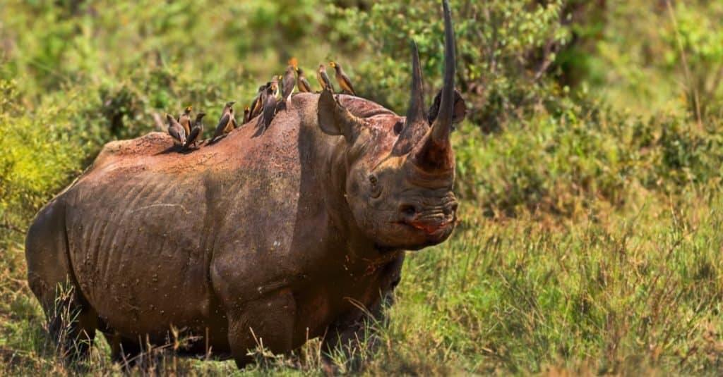 World's Scariest Animal: Black Rhinoceroses