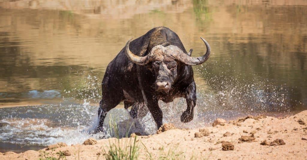 World's Scariest Animal: Cape Buffalo