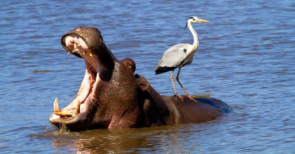 World's Scariest Animal: Hippopotamuses
