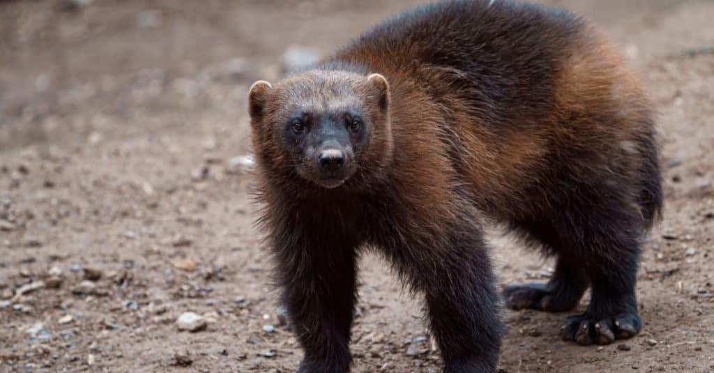World's Scariest Animal: Wolverines
