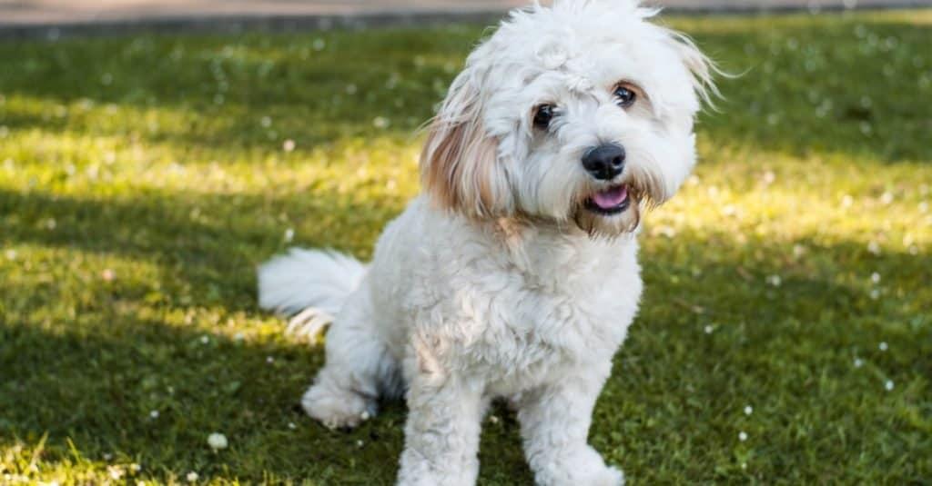 Cute little Bichon Frise and Yorkshire terrier mix dog, Yorkie Bichon, sitting in a fresh cut grass garden.