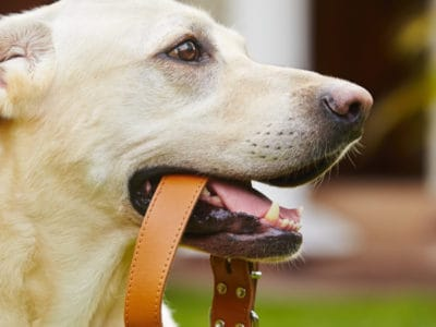 A The Top 4 Best Leather Dog Collars: Reviewed for 2021