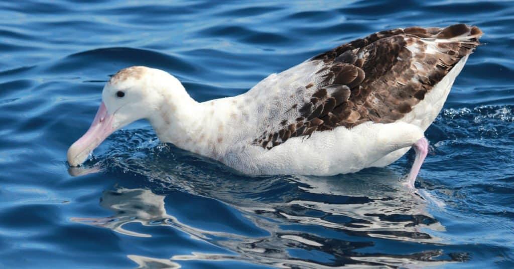 El albatros de las Antípodas solo pone huevos cada dos años.