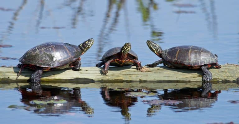 Group of Painted turtles on a rock