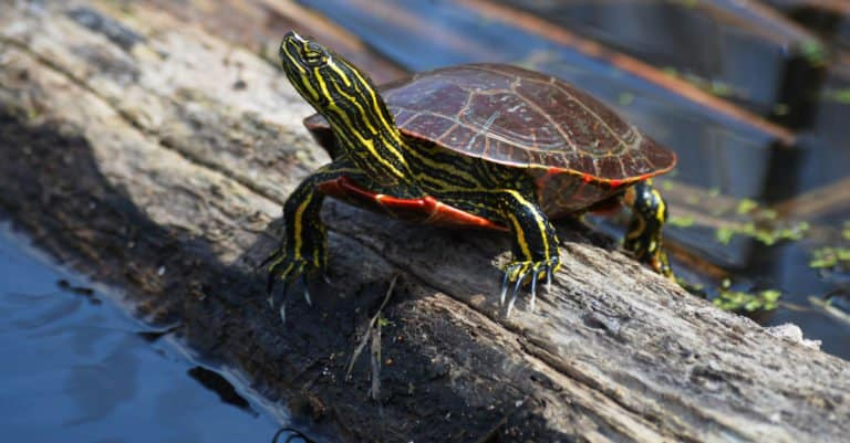 Painted Turtle sitting on a stump next to the water.
