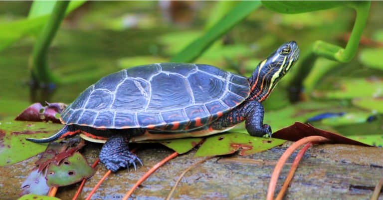 Painted Turtle sitting on a rock at the water's edge.
