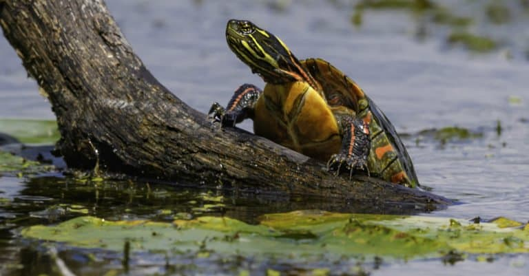 Painted Turtle climbing out of the water.