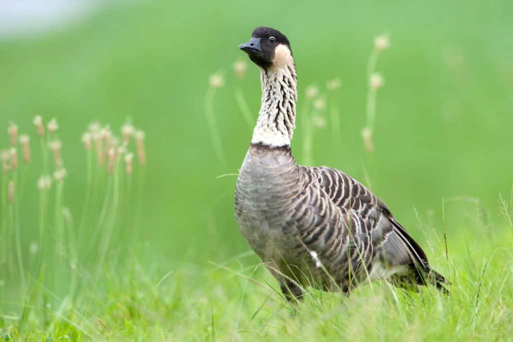 Nene (Hawaiian goose) Standing in the grass