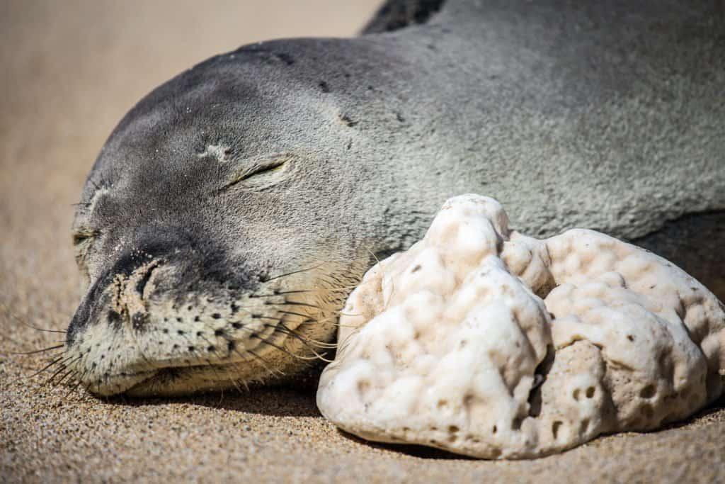 Hawaiian Monk Seal sleeping on the sand by coral
