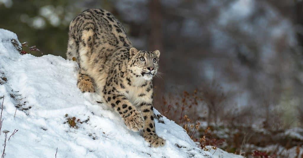 Alert Snow Leopard looking for prey.