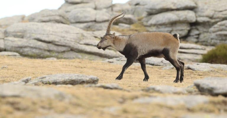 Spanish Goat walking in the mountains.