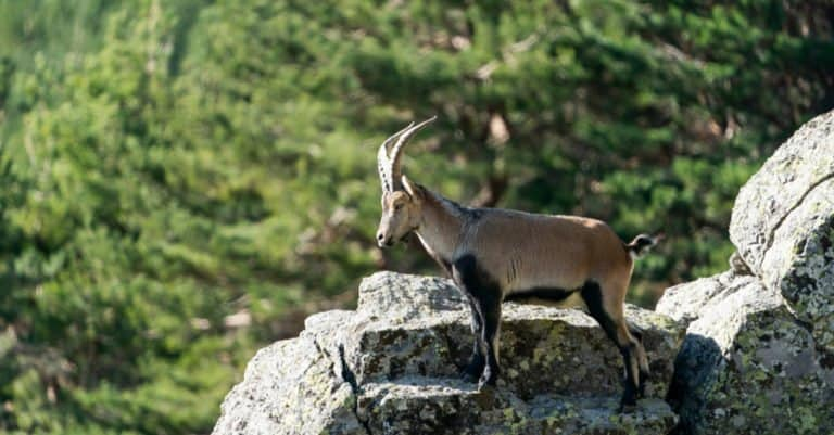 Spanish Goat standing on a cliff.