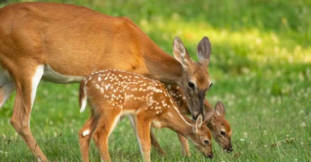 A white-tailed deer doe and its two fawns in an open meadow in summer.