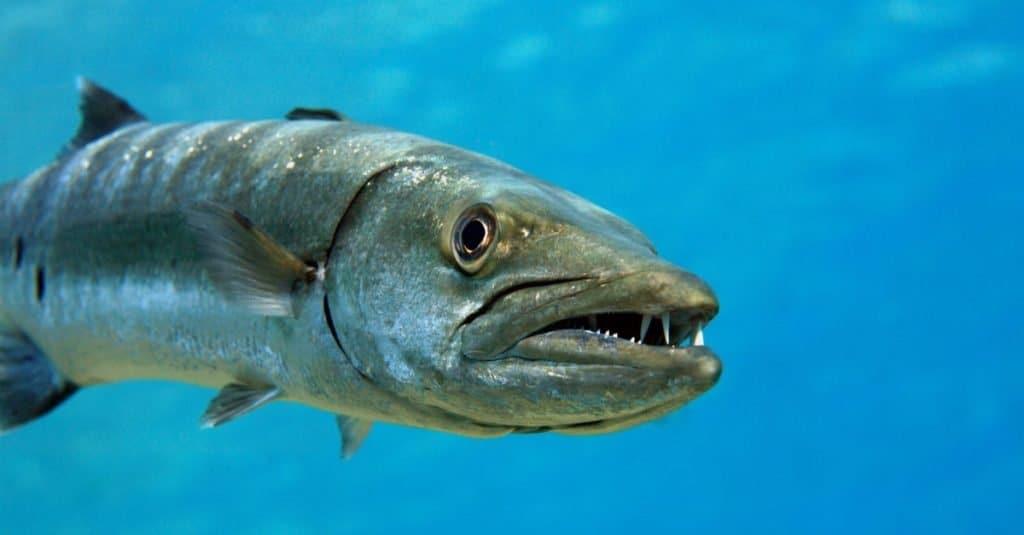 Animal agresivo: Barracuda