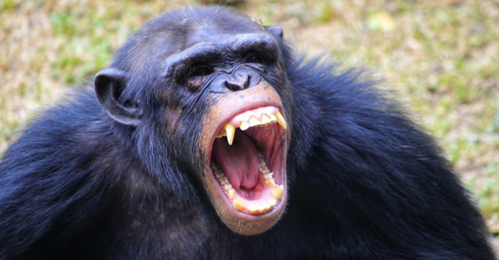 Animal agresivo: chimpancé