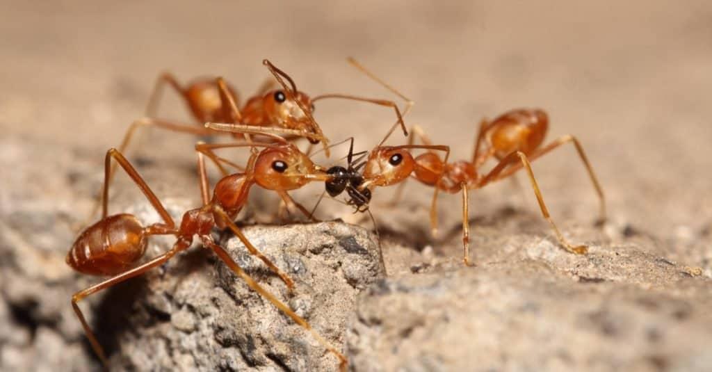 Animal agresivo: hormiga de fuego