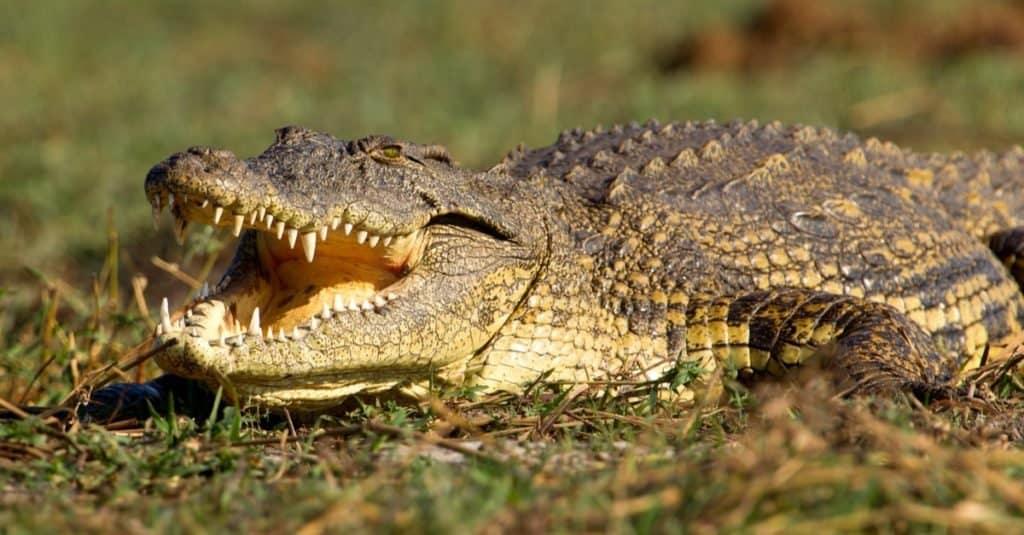 Animal agresivo: cocodrilo del Nilo