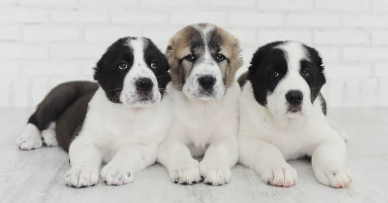 Alabai puppies on a white background in the studio.