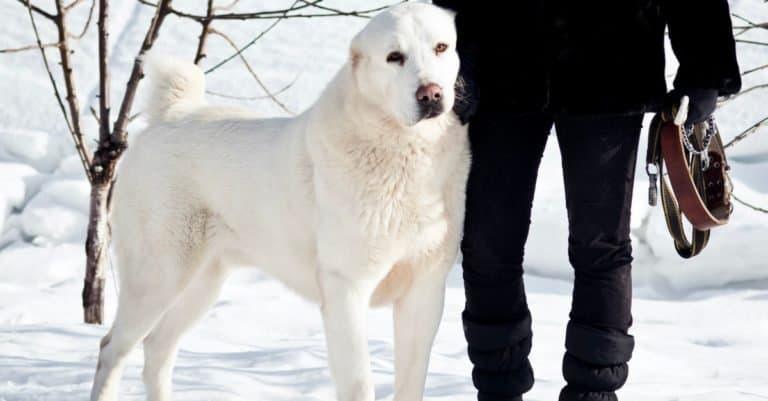 Beautiful big white Alabai, (Central Asian Shepherd), on a background of white snow .