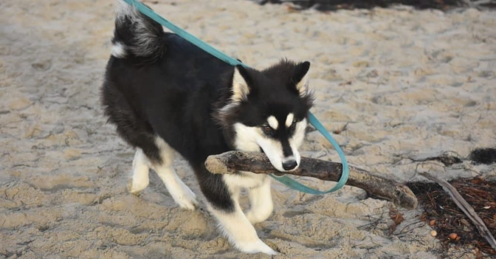 Alusky dog playing on a beach.
