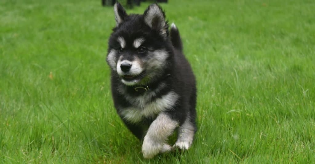 Adorable Alusky puppy dog running at full speed.