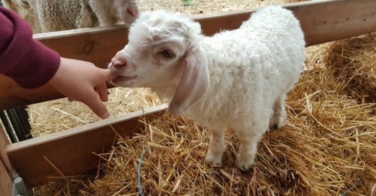 Child playing with baby Angora goat.