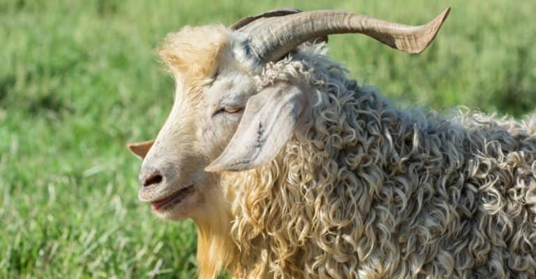 Angora Goat close-up