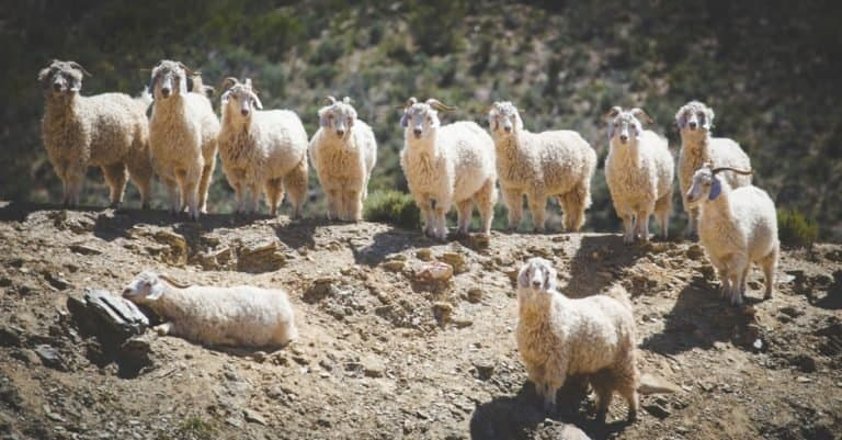 A group of Angora goats, that supply mohair, on a farm in the Karoo in South Africa.
