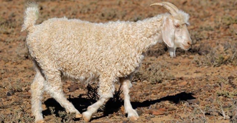 An Angora goat on a rural South African free-range farm.