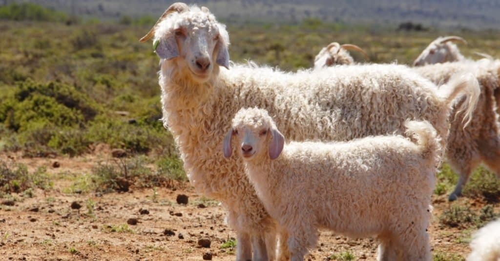An Angora goat mother with her kid separate from the herd.