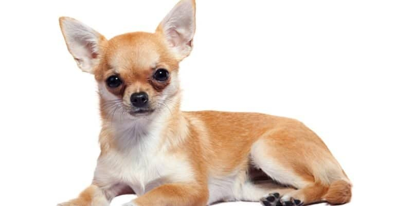 Apple Head Chihuahua lying, isolated on white background.
