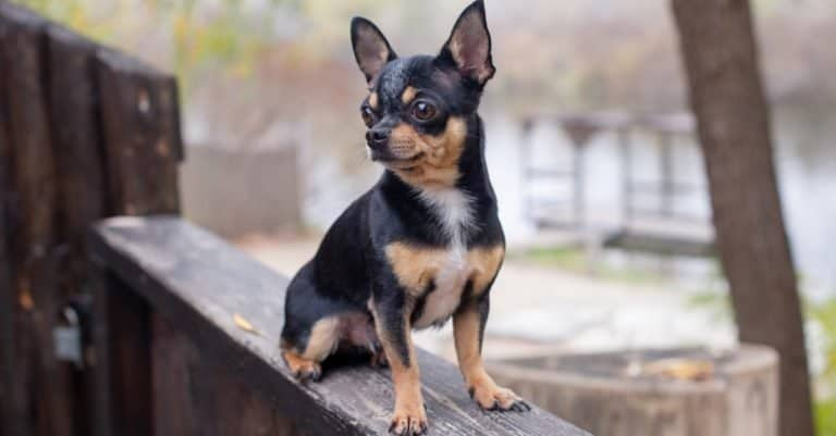 Pet dog Apple Head Chihuahua sitting on a deck outside.