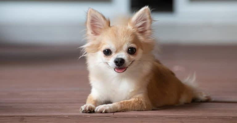 Brown Apple Head Chihuahua sitting on the floor.