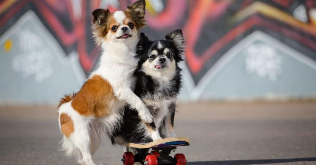 Two funny little Apple Head Chihuahua pets dogs sitting on a skateboard.