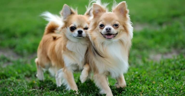 Two Longhair Apple Head Chihuahua dogs playing in green summer grass.