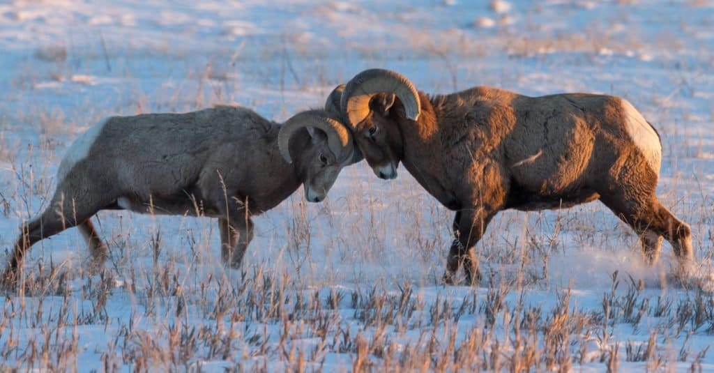 Two Bighorn sheep rams battling during the mating season on a snow-covered prairie.