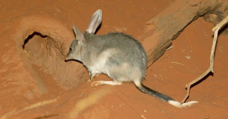 Bilby, or rabbit-bandicoots, is a desert-dwelling marsupial.