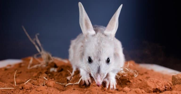 Greater bilby looking forwards with ears up on red outback dirt.