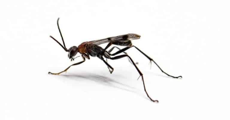 Black wasp isolated on white background