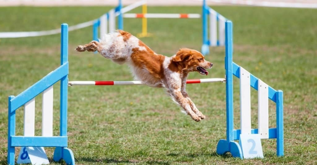 Brittany dog jumping over a hurdle in an agility competition.
