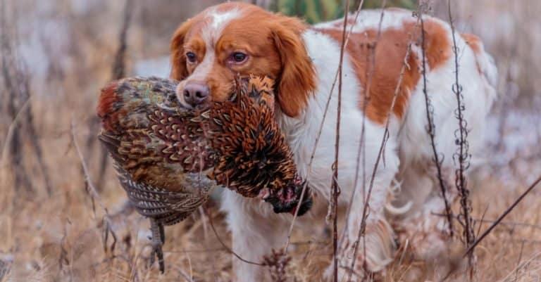 Brittany pheasant hunting.